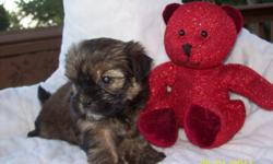CKC Shorkie {shih/yorkie} Designer Puppy. Non-Shedding,Allergy-Friendly. This little girl is raised in my home with children and other pets too. She has hair so soft, like a teddy bear!! She has a very, very nice personalities. And very loving. You will