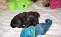 CKC Shorkie { shih/yorkie} Designer Puppy. Non- Shedding, Allergy- Friendly. This little girl is raised in my home. With children, and other pets too. This little girl has very loving personalities.She has hair that is so soft!! Like a teddy bear! You