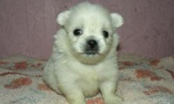 This is Sugar. She is a registered designer breed called a pek-a-pom. She is half pekingese and half pomeranian. She is sweet,adorable, and absolutely beautiful. Her estimated adult weight is 4 to 6 pounds. She will be ready for a new home around June 4,
