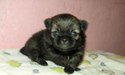 This is Pepper. He is a registered designer breed called pek-a-pom. He is half pekingese and half pomeranian. He is sweet and adorable. His estimated adult weight is 4 to 6 pounds. He will be ready for a new home around June 4, 2011. He will come up to