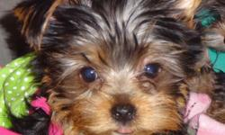 CKC Toy Yorkie Terrier with paper. Mother it golden/Father is red & black. $800.00or obo. Oct 6 will be 4 mo. Pet door Trained. Mother 4 1/2lbs. Father 3lbs. Very loving want to be with you. Raised up with other pets.We call her sweetpea. For