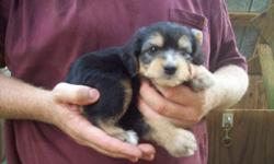 Are ready to find a new loving home.. The colored like yorki are Female's are $400.00 Male is $350.00..Black with white marking is $300.00 Serious Calls Only..