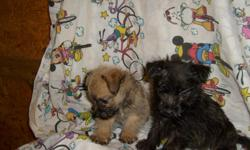 REG. CUTE YORKIE/CAIRN TERRIER PUPPIES. HAVE HAD FIRST SHOTS AND DEWORMED. 912-293-0607