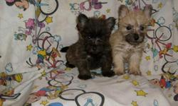 CUTE, FLUFFY CAIRN/YORKIE MIX PUPPIES. NON-SHEDDING, HAVE HAD FIRST SHOTS AND DEWORMED. THEY ARE CUTE AS A BUG. 912-293-0607