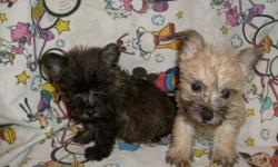 CUTE, FLUFFY NON-SHEDDING PUPPIES. THEY HAVE HAD FIRST SHOTS AND DEWORMED. THEY ARE CAIRN AND YORKIE MIX. JUST PRECIOUS. 912-293-0607