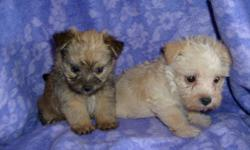 CKC REG. CUTE TINY NON-SHEDDING PUPPIES. FIRST SHOTS AND DEWORMED. THEY ARE JUST PRECIOUS. THEY ARE YORKIE AND CAIRN TERRIER CROSS. 912-293-0607
