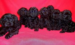 Cockapoo puppy; 11 wks old. 1 Female in beautiful solid black. Nice thick curly coat. 1st shots, dewormed, tail docked, dewclaws removed.Mom AKC red sable am cocker spaniel, dad AKC apricot miniature poodle,they are our family pets, very friendly and are