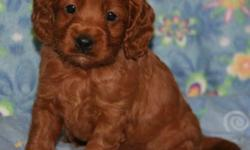 If you're looking for a wonderful Cockapoo puppy to add to the family this year we have them! We have both males and females, in a variety of colors, with the wonderful non-shedding and hypo-allergenic coats they are known and loved for. Our pups are