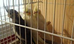 Lutina is white with peach color on cheeksabout 4 or5 mo. Old,Pied and Gray mix is white,gray,yellow and also has peach color on cheeks. It is 1 yr old. Multi colored one is a singer. Asking $40.00 for it. Or best offer.