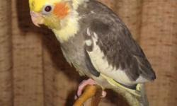 Small Hobby Breeder has 4 Male 10 week old Hand fed, very Tame baby cockatiels for sale. All NCS banded. All DNA sexed as male! Two Normals (Gray), one Pearl and one Pied. Weaned to veggies and pellets. Usually sell for $120.00 each ($20.00 is what the