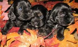 Cocker Puppies Beautiful colors Parents onsite Familyraised and socialized.Available Black Male,Tri Merle Male,Blk/White Male.we only have 3 left to choose Ready ByMarch 14 2012.For Forever Homes...Taken Deposit And Showings.all puppies
