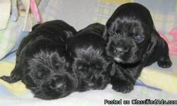Beautiful Familyraised and Social American Cocker Puppies we only have 3 left Black Male,Tri Merle Male,Blk/White Malepuppies Ready ByMarch 14th 2012.For Forever Homes..Parents Onsite Taken deposit and showings.they all come with