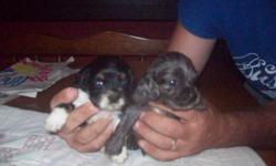 MALE IS A BLUE MERLE THAT IS A VERY NICE PUP. HE IS 4 WEEKS OLD. HE WILL COME WITH FULL REGISTRATION AND UTD ON ALL SHOTS AND WORMING. HE HAS BEEN RAISED WITH OUR CHILDREN AND VERY WELL SOCIALIZED. HE WON'T LAST LONG AT THIS PRICE. YOU CAN CALL