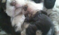 Two Tri-color Cocker Spaniel Pups born October 23rd. They are black and white with tan markings...one male and one female. Shots, wormings, tails docked and dew claws removed, first puppy cut grooming, weaned and ready for the New Year. Please call -- to