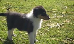 Black/tri female white feet, chest, full around collar. $350 registered AKC for pet or $500 for breed or show. Born 11/11/2010. Shots and wormed. Parents: rare white and blue merel. Beautiful, excellent compositions (e-mail for pictures.) Pups personality