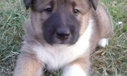 Adorable clollita puppies (collie x akita) looking for new homes. Born Aug 31st & now ready. Both have 4 white feet white on neck chest & tip of tail. Ist shots & start of crate training. Male & female left, Hugo & Sweetie. Call -- for more info.