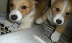 I have four beautiful corgi puppies for sale. They are the fawn/golden color, 2 males and 2 females. They need a good home and an owner who is willing to play with them as they are full of energy. Thanks!