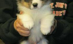 One Tri Male 7 weeks of age first parvo-distemper shot and wormed! One Tri Female 9 weeks of age all shots and wormed! Both are beautifully marked with full white collars, white feet and white blazes on face, $400 each. Call: --