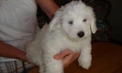 Pure white APRI Reg. Coton De Tulear puppies for sale.Shots UTD,Health guarantee,nonshedding and hypoallergenic.Males-$600.00--females-$700.00. --