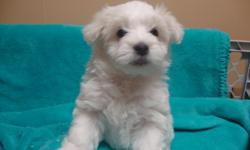 Adorable pure white Coton de Tulear puppies for sale. APRI registered, non-shedding, hypo-allergenic, up-to-date on shots, vet examined, and health guaranteed. These little puppies are raised in my home and are well socialized. I have 4 males born