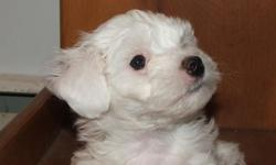 Mister Brown is a cute and cuddly Coton. He has been raised in our home and is well socialized with other animals and people. He is 12 weeks old and current on all his shots, wormed, vet check, APRI registered. He is wonderful little pup and will steal