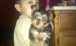 Tiny Cute Male Yorkie puppy for sale. He is 10 weeks old. His adult adult weight will be between 3.5lbs to 5lbs. He is from a champion blood line and is dual registered with ACA and CKC. The Sire is a 3.5 lb black and tan Yorkie. The Dam is a 4.75lbs