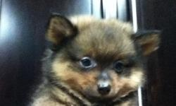 Pure Pomeranian 8 weeks old. Very adorable, you will love him instantly.