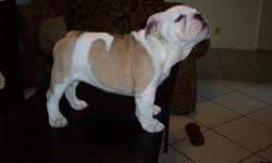 English Bulldog Puppies,AKC,Champion lines. Beautiful puppies with huge heads and great bone. Health puppies vet checked, shots and dewormed. for sale $1700...0B0....for more inf call (818)510-5241....or....(818)-834-9825