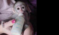 There is a male and female baby capuchin monkeys we have for sale now. They have been raised in our home and have grown up together. They are on current shots and have been vaccinated against diseases and have all vet papers and health records. They are