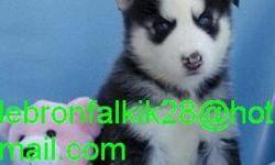 cute and lovely male and female siberian husky puppies for sale