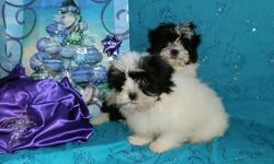 Two cute male puppies. Full blooded parents. 15 weeks. Will be around 10 pounds full grown. Puppies are non-shedding, hypo-allergenic and VERY SOFT. Black and white, with one being all white on his body. So very soft. ***Current on shots, wormed,