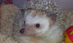 Hello, I am a hedgehog breeder from the Yankton, South Dakota area. My female hedgehog just had a litter on July, 23rd. Their are 2 girls and 4 boys. They will be $125.00 each. Their colors are (of course) unknown yet but I believe I have 2 Whites (Unsure
