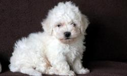 Webster is an adorable Bichon puppy who is searching for his forever family! He can be ACA registered, is vet checked, vaccinated, wormed and health guaranteed. He is family raised and well socialized. He was born on October 9th and his momma is Beauty &