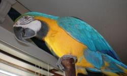 Baby Blue And Gold Macaw Available Baby Blue And Gold Macaw Available. Very tame, hand reared baby blue and gold macaws for available for good homes. They will come with a hatch certificate, care sheets and full after care. I am a very large breeder of