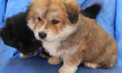 ..I have two cute little boy chow chow puppies. They are about 8 weeks old. They are both males. No shots yet since they just turned 8 weeks old, but they have been given deworming medicine. Contact: 432-563-1880 I do not check email often so calls
