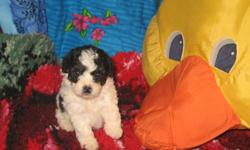 **CUTE Purebred Small TOY and TEACUP Poodle Puppies** They are Register with CKC (Continental Kennel Club).... They wore born on August 03, 2011!!! Two pups are Black Color and Two pups are Black and White Parti Color... Only Male puppies available.. They