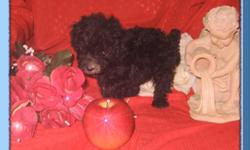 ~ CUTE Purebred Small TOY and TEACUP Poodle Puppies ~ His Register with CKC (Continental Kennel Club).... He was born on May 08, 2011!!! His Brown, Gray and Apricot Color (Brindle color as common known) Small Toy Poodle Boy Pup... he has beautiful square