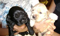 4 males 3 black, 1 blonde 1st shots, de-wormed, tailsdocked, dew-claw removed and parents on premises. 7 weeks old. 407-621-3300