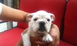 Adorable English Bulldog Puppies - 10 weeks old, 2 females, shots, dewomred, 1 health guarantee, great bone structure broad low slung shoulders, wide chest, and short stocky legs,CKC and Microchip. 619-857-7350