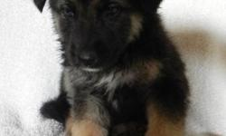 -Male -First set of deworming medicine -Born October 18th -Very sweet personality -Pics taken on Nov 30th -Father is German Shepherd with German bloodlines -Please calls only: Call: 760-553-4823