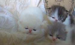 (go to our web site first before calling) at hollyhockpersians.net SALE dollface Chinchilla boy $480. and a White little girl they are both realy sweet and good with children and adults. they love to play and are litter box trained, have their shots,