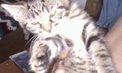 Cute kittens. 7 weeks old. 5 female. 2 gray medium hair, 1 tabby medium hair, 2 tiger-stripped short hair.