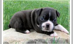 This is Parker my little Boston Terrier male.He is CKC registered.He will come with his first shots and dewormings.He will be ready for his forever home on May 1st.A $100.00 deposit will hold him until then.Price on him is $250.00 cash only.Please feel
