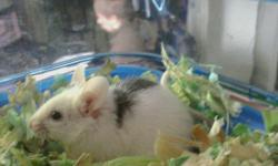 Cheesey and Swissy are Fancy mice. They're both black and white and are very friendly. Mice are great pets for apartments and are great first time pets for kids. They come with cages that can be added onto enless with tubes and other cages. They have