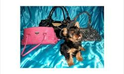 Home Trained Male And Female Teacup Yorkie Puppies Now Available For Re Homing THey are all vet checked and akc registered and will be coming along with all health papers and a health guarantee tee so if interested in having any of these puppies the