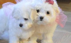male and female maltese puppies ready Up to date with shots and dewormer. Comes with a health certificate and guarantee.