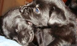 Cute Puppies Born nov 10,2012 1 male 3 females ready to adopt out Chow/lab/golden ret mix