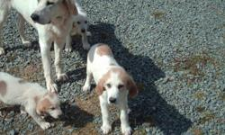 They are 3mos. old had there 1st shots walker hound and great white piernees great with kids. good watch dogs, would like to see them on a farm. they have been raised around chickhens