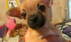 two very cute small male purebred chihuahua puppies. i am asking $150.00 and they need shots if interested call veronica at 561-688-3565, thanks