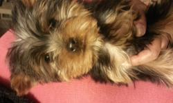 Cute Teddy Bear Face Male TOY YORKIE Available perfect xmas gift. The puppy has shots and dewormed at 11 weeks old perfect for xmas gift. He is purebred CKC registered. Parents on premises with ckc papers i paid $1400 each. Im asking $1000 for this puppy